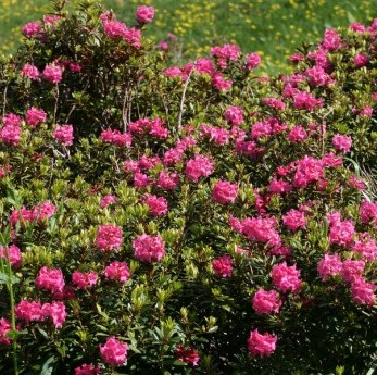 RHODODENDRON FERRUGINEUM - Rododendro (concess. Pelassa Piero)
