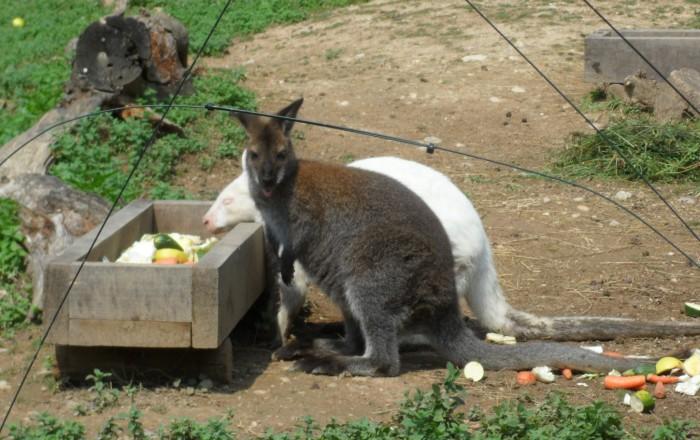 La coppia di canguri nel giardino di Belfagor a Monesi (foto riservata copjright)