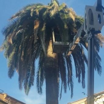 Sono le 945 di mercoledì 21 ottobre, in piazzetta Vittorio Veneto, arriva la piattaforma aerea per soccorre la palma centenaria vittima del punteruolo rosso