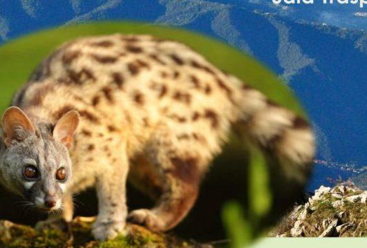 Alpi Liguri Imperiesi Chi Ha Visto La Misteriosa Genetta