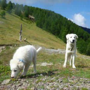 Monesi, ci mancava questa 'guerra'. Proteste e denunce: aggrediti dai cani di pastori che difendono il gregge dai lupi