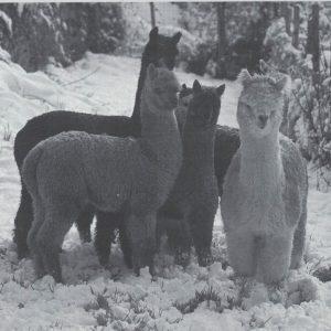 Le due Monesi: novità? Annunciata task force per 'un turismo che duri tutto l'anno'. E a Triora benvenuti i primi alpaca. E l'Associazione Amici del Rendentore elegge presidente Giacu